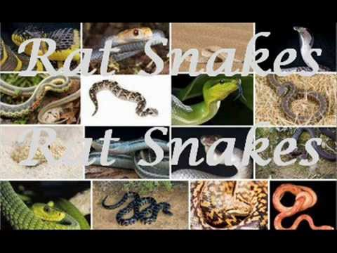 Rat Snakes -- Snakes For Kids -- Amazing Animal Books For Young Readers