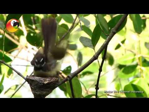 Sarang Burung Sikatan Kipasan dialam liar