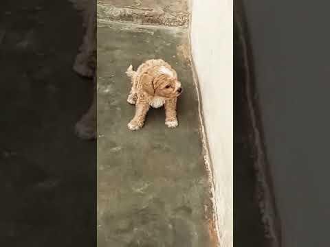 9212 501 257 Toy poodle, teacup poodle puppies for sale in Delhi Gurgaon pet shop