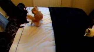 Mia the puppy and Rio the cat on the bed play fighting Thumbnail