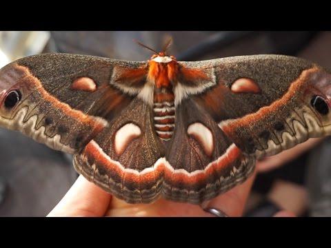 Moth VLOG (Cecropia, Polyphemus, Luna, Cocoons, Pupa) + Praying Mantis