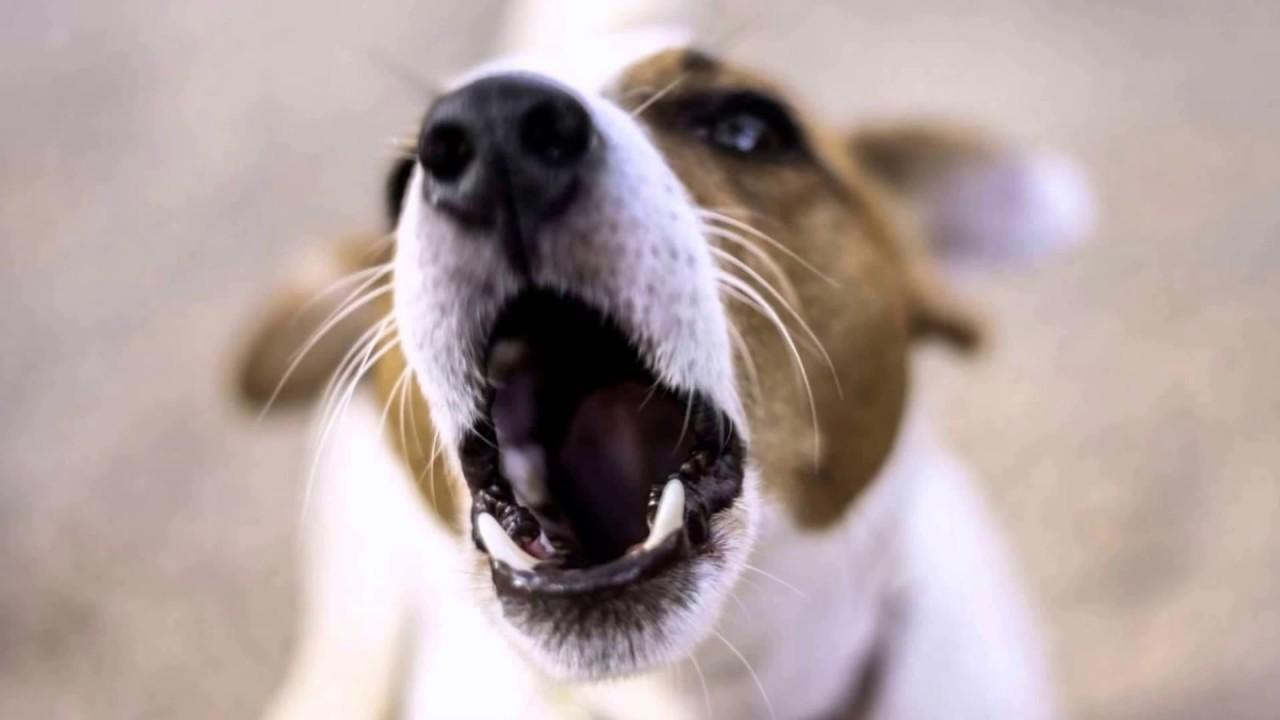 Big Dog Barking Free Ringtone Download