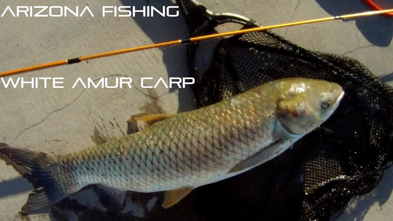 Arizona fishing for white amur carp youtube for White amur fish