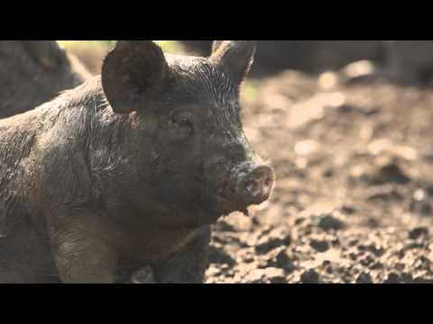 THE LAST PIG, a feature documentary film