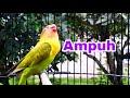 Suara Lovebird Seperti Ini Yang Disukai Lovebird Lain Agar Rajin Bunyi Ngekek  Mp3 - Mp4 Download