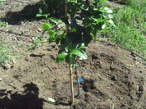 Plantar un limonero lunero youtube for Como se desarrolla un arbol