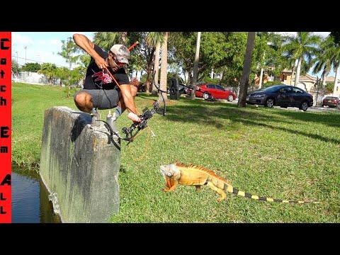 IGUANA BOWFISHING 1,000 Invasive Iguanas In 2 DAYS! **Saving Florida**