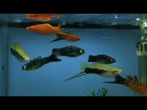 XL Swordtails for sale at Tyne Valley Aquatics - Tropical fish shop near  Newcastle