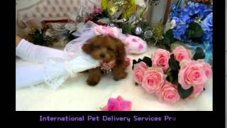 Super Tiny Teacup- Small Teacup Poodle 346
