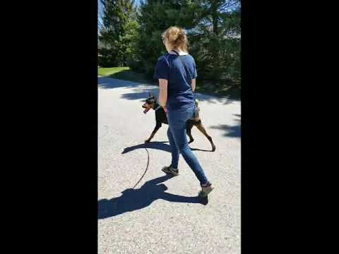 Enzo the Doberman Pinscher Works on his Fear of New Dogs!
