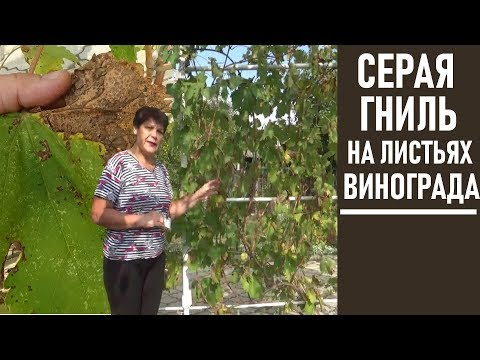 Вопрос: Насколько безопасно есть виноград, переболевший серой гнилью?