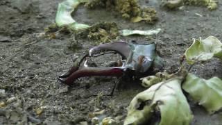 Лесные муравьи и голова жука-оленя ( Formica rufa )