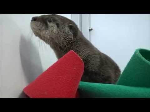 Otter pup wakes up from nap