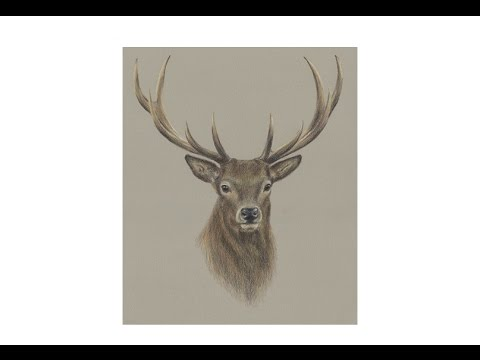 Special Deer Portrait Drawing!