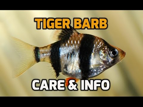 Tiger Barb Care, Info And How To (Puntius Tetrazona)