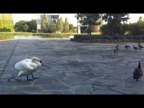 fight! swan vs canada goose leader!
