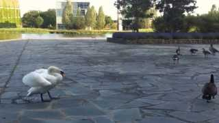fight swan vs canada goose leader