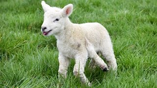 Adorable Lamb Born With Five Legs