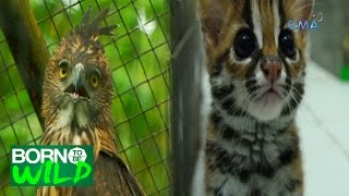 Born to Be Wild: The Visayan Leopard Cat and Pinsker's Hawk Eagle