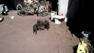 Mexicaanse Naakthond (xolo Hairless Dog) Puppies 7,5 Week