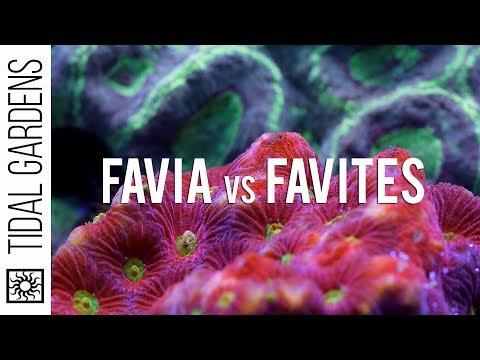 Favia and Favites Brain Corals