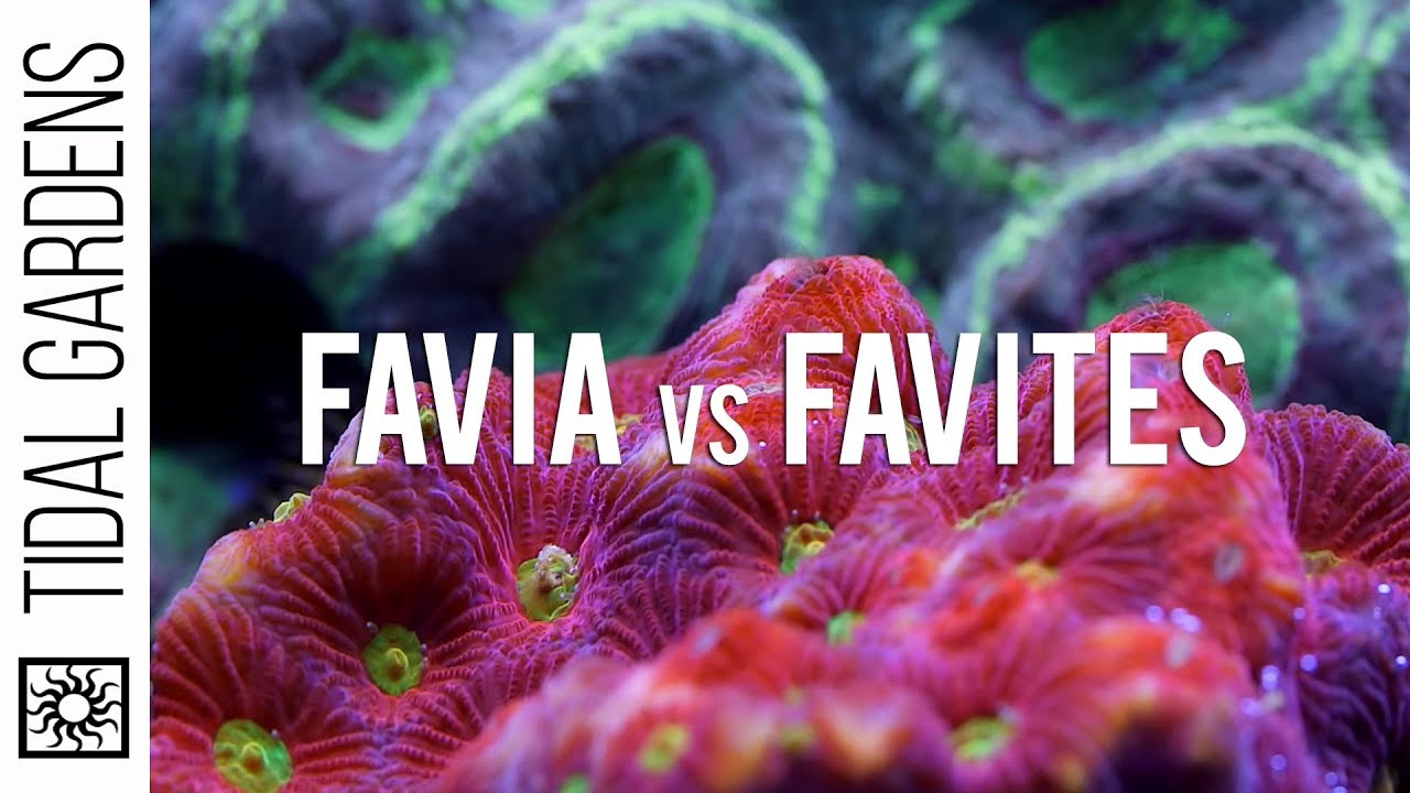 Favia And Favites Brain Corals Youtube