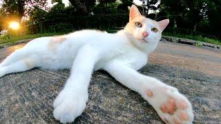 暑がりのミルクティー猫が涼しい夕方になるとひょっこりと出てきた