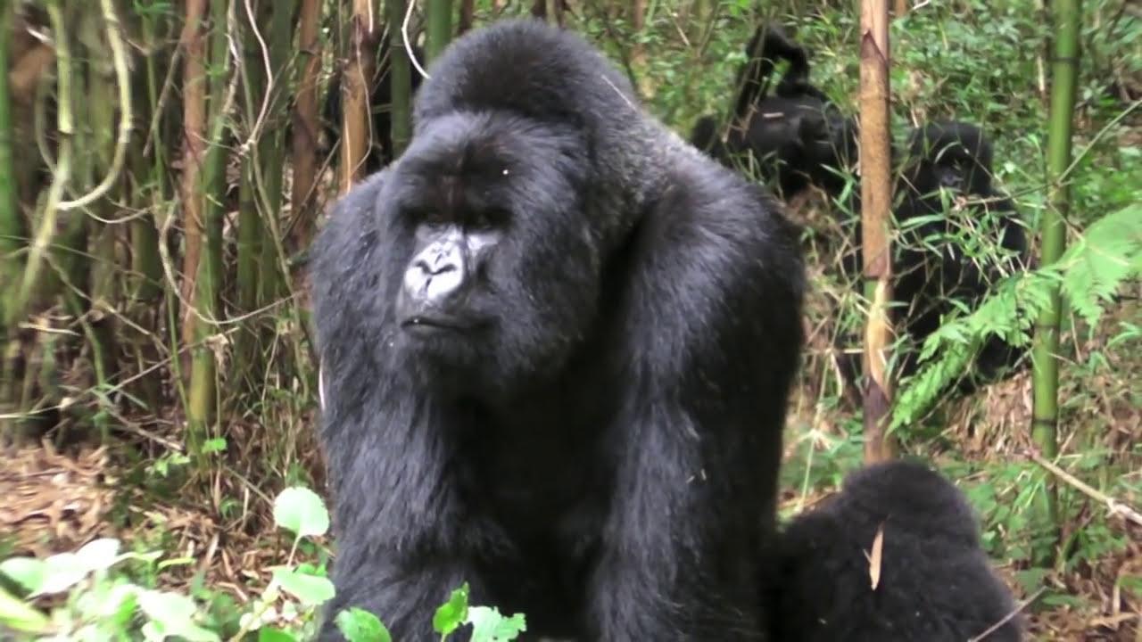 Секс у горил