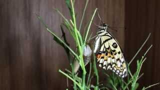 Time-lapse photography of swallowtail butterfly emergence. 無尾鳳蝶...