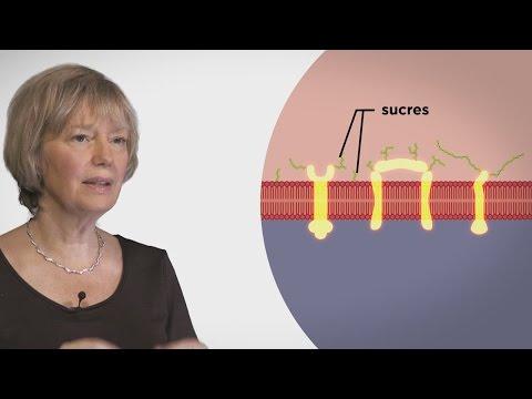 MOOC côté cours : La membrane de la cellule