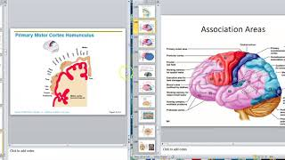 Brain 5 Cerebrum B Motor Cortex