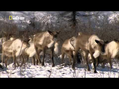 Kinn az orosz vadonban Szibéria HD