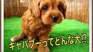 ペットで犬を飼おうと迷っている方へ〜キャバプー〜 世の中には様々な犬...