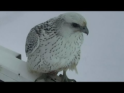 171119 Gyrfalcon Rests on Tower & Visited by Out of View Raven
