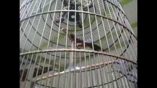 video murai batu ekor hitam Natalia 100jt