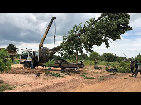 รถยกลงต้นไม้ ปลูกต้นไม้ใหญ่มาก แคนา