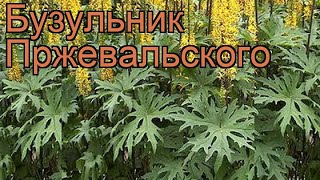 Бузульник пржевальского (ligularia przewalskii) ???? бузульник обзор: как сажать саженцы бузульника