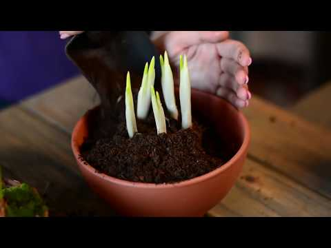Фикус Комнатные растения Продажа домашних фикусов фото