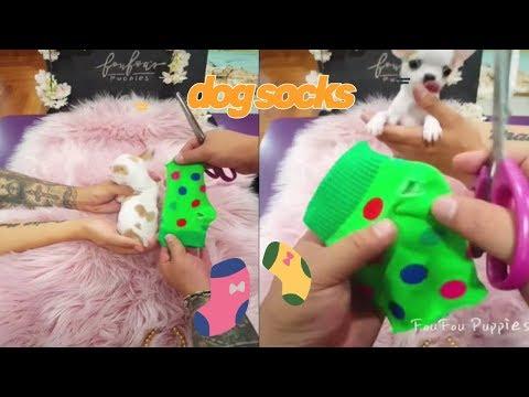 teaCuppuppy.a cute puppy.Dog video.Tik Tok