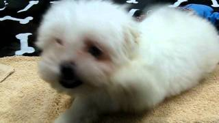 Maltese Puppy Playing Through Glass