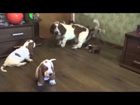 Bassethound Columbo and puppies
