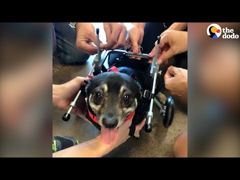 Rescue Dog Loves Running With His Wheelchair