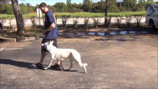 K9 Enforcement's Fang , White German Shepherd For Sale