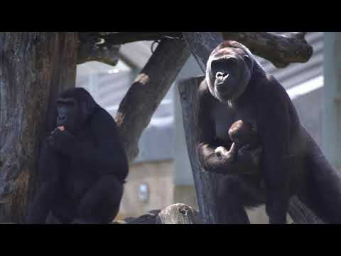 #GorillaStory: Calaya and Moke in the Great Ape House Outdoor Yard