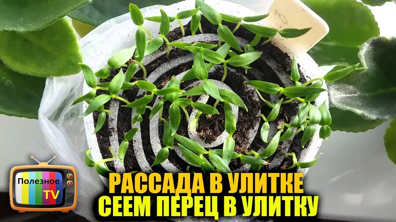 Как правильно сажать (сеять ) перец на рассаду дома? 93