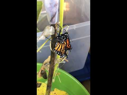 Monarch butterfly emerging from chrysalis!