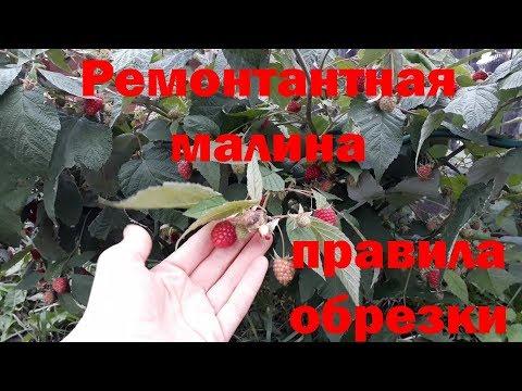 Ремонтантная малина (обрезка осенью)