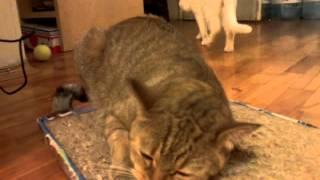 Кошки. Коты любят валерьянку.