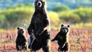 Hазвания и голоса хищников для детей. (акхаройн ц1ераш а,аьзнаш а)