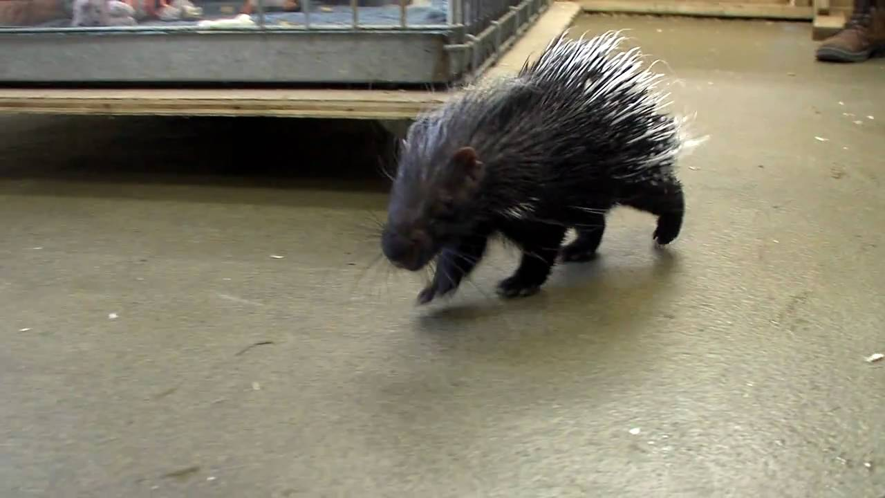 Baby African Crested Porcupine Cincinnati Zoo Youtube